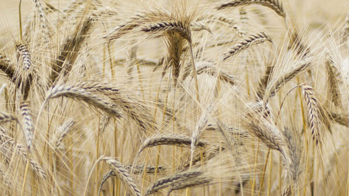 Agro: kunstmestnorm bij mais en aardappelen